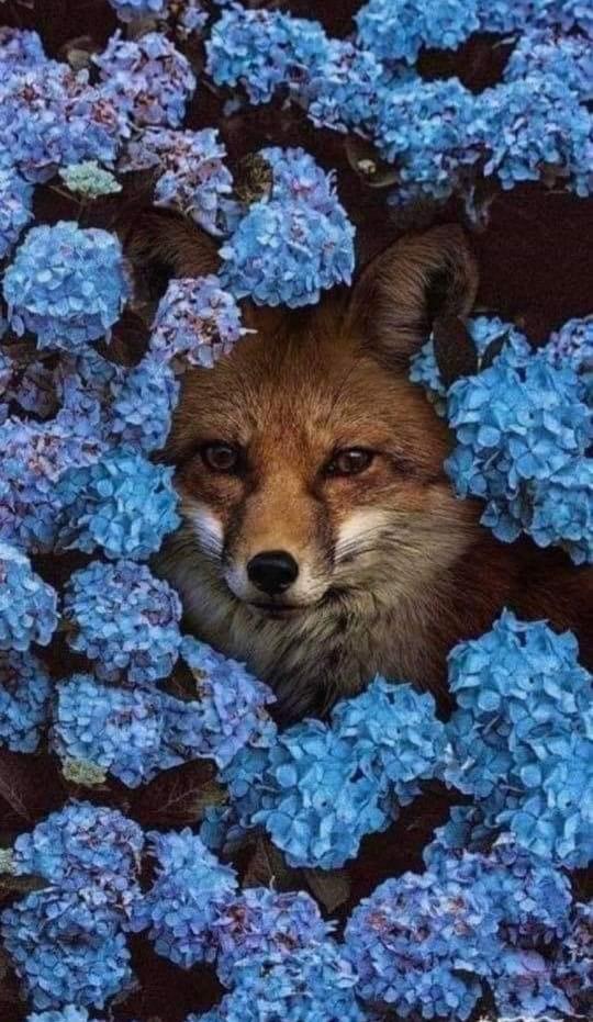 fox blu